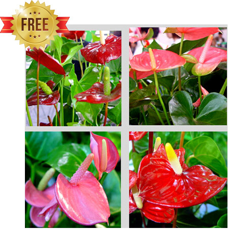 anthurium seeds free shipping cheap anthurium seeds Bonsai balcony flower anthurium potted seed 100 pcs bag