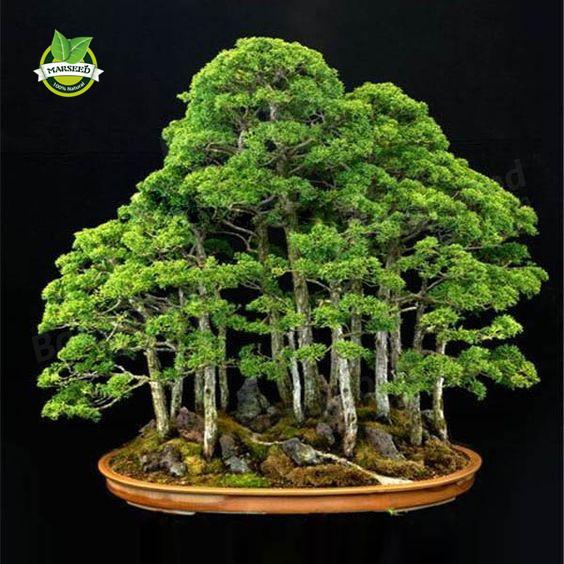 20 juniper bonsai sementes de rvores em vasos flores - Como cultivar bonsais ...