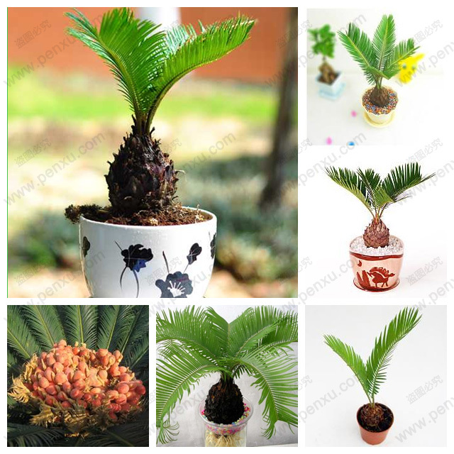 Bulk seed potted cycas, foliage plants purify the air cycads tree 100% true seed,one pcs / bag(China (Mainland))