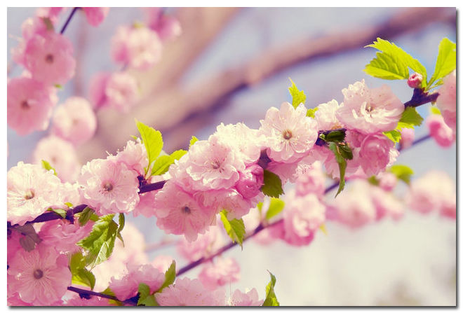 Pink Cherry Blossoms Flowers Nature Art Silk Poster Modern Home Decor 24x36