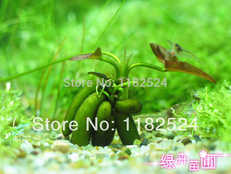 Free shipping 500pcs banana plant aquarium grass family for Easy aquatic plants