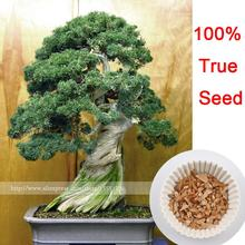 50 juniper bonsai tree potted flowers office bonsai purify the air absorb harmful gases free shipping