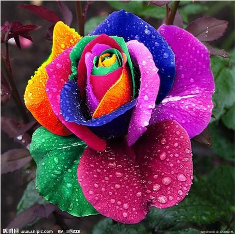Rose seeds flower colorful rose seeds - 100 pcs seeds(China (Mainland))