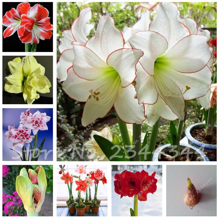 Compra bulbos de azucena online al por mayor de china for Azucena plantas jardin