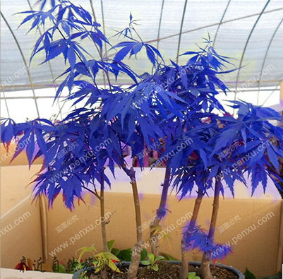 RARE MAPLE blue seeds 4SEASON SOW tree seeds garden plant bonsai SEEDS 10pcs high germination(China (Mainland))