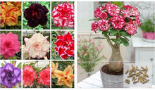 Buy 100% true Desert Rose Seeds Ornamental Plants Balcony Bonsai Potted Flowers Seeds Adenium Obesum Seed 5 Particles / lot for $1.30 in AliExpress store