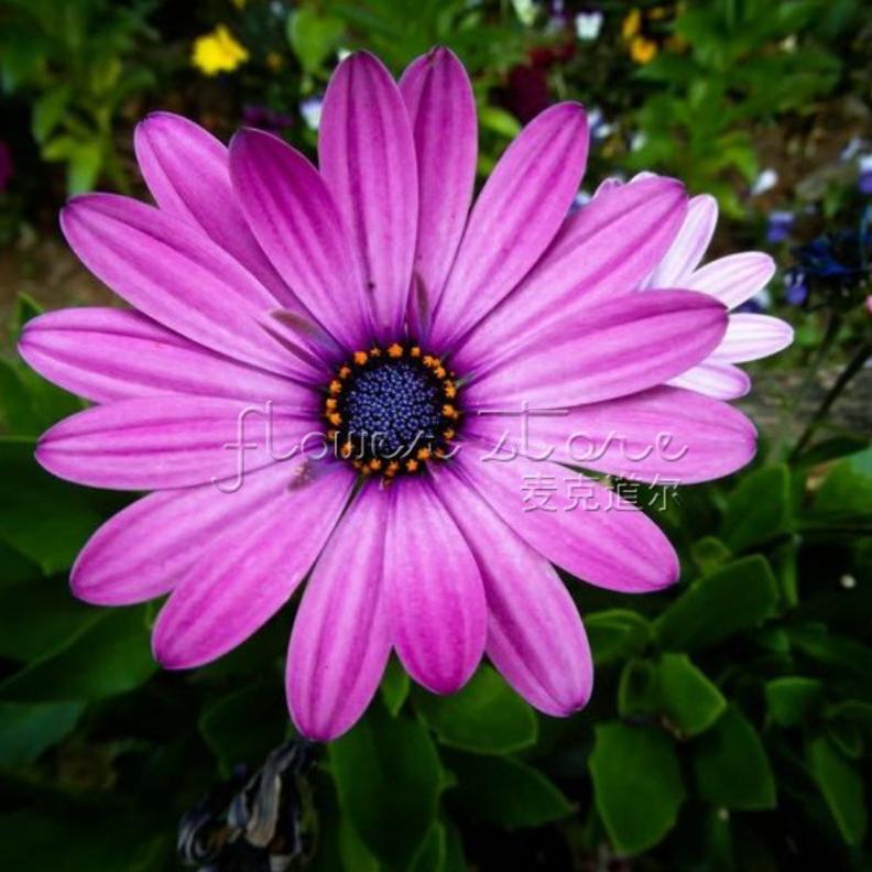 Acheter 20 purple daisy graines des for Solde plante interieur