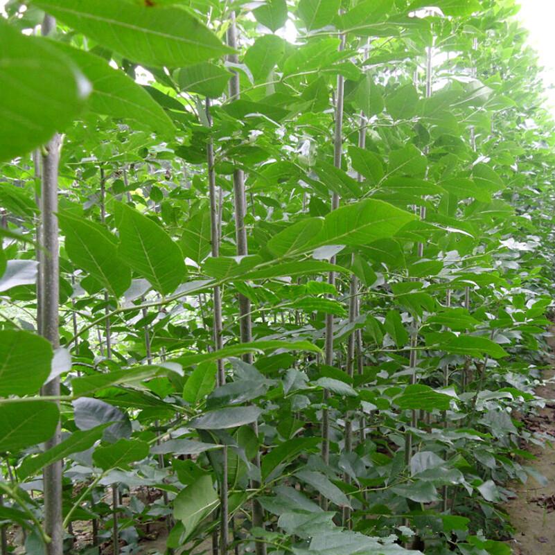 Potted plant Tree seeds Ash tree seeds Bonsai Home & Garden 50g / Bag(China (Mainland))