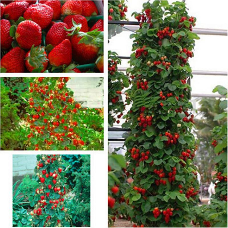 Red giant Climbing Strawberry Seeds Fruit Seeds For Home & Garden DIY rare seeds for bonsai - 500seeds free ship(China (Mainland))
