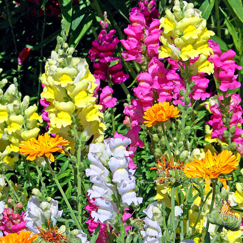 Free Shipping Authentic Snapdragon seeds rare color new arrival DIY Home Garden flower plant 100g / Bag(China (Mainland))