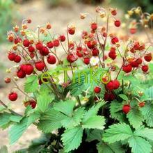Бонсай земляника семена 50 шт./пакет лесной семена плоды семена вкусные фрукты дома сад растений DIY бесплатная доставка(China (Mainland))