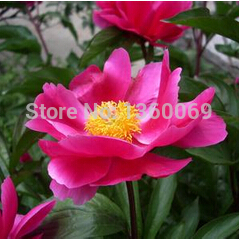 1pack Paeonia lactiflora Pall seeds - colorful flower A155 bonsai plant DIY home garden free shipping(original packing)(China (Mainland))