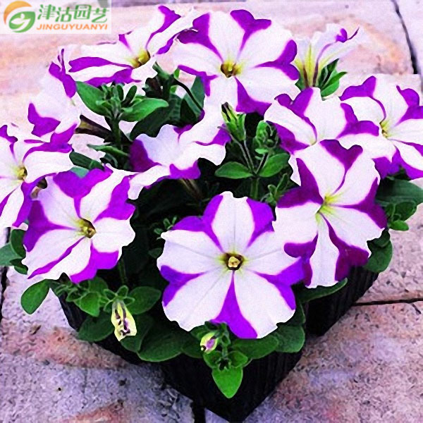 20 seeds/pack flower seeds imported spend garden petunia seed sowing seasons and easy living violets Stars and Stripes(China (Mainland))