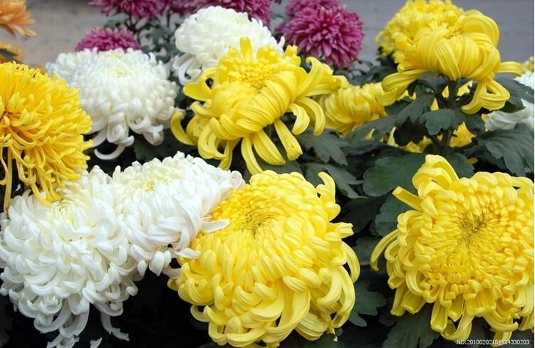 Perennial flower seeds potted chrysanthemum seedlings easy plant sown 3seasons Yellow_4 - Vinda Trade store
