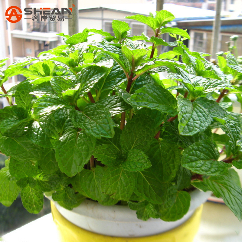 Гаджет  Plant Mint Green Vegetable Seeds Balcony Potted Peppermint Aromatic Plant Seeds About 200 Pieces / lot  None Дом и Сад