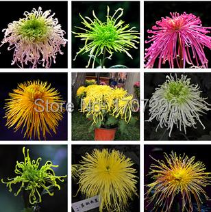 Ornamental bonsai,rare color ,new Choose more chrysanthemum seeds Garden flower plant - 20 pcs / lot(China (Mainland))