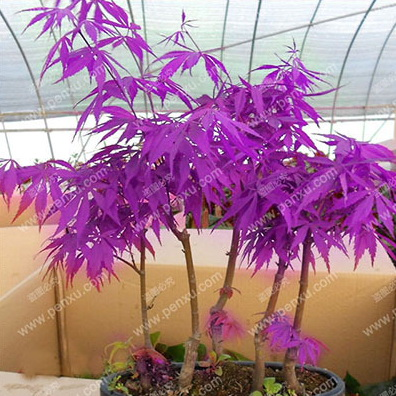RARE PURPLE MAPLE SEEDS 4SEASON SOW tree seeds 10pcs high germination plant easy to plant as bonsai free shipping(China (Mainland))