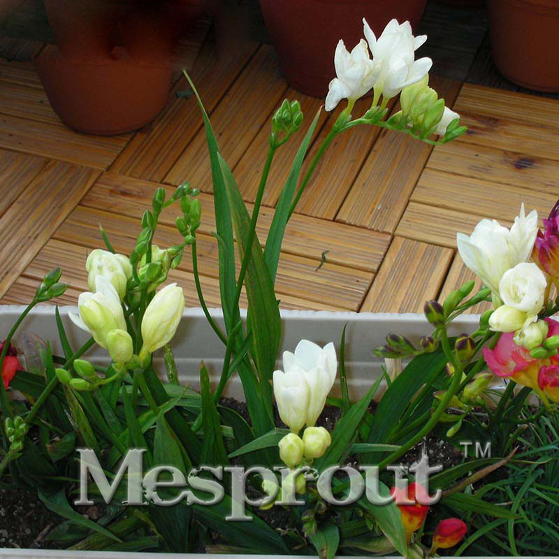 Freesia Seeds, Freesia Potted Seed, Freesia Flower Balcony and Office Aerobic Potted - 50 seeds(China (Mainland))