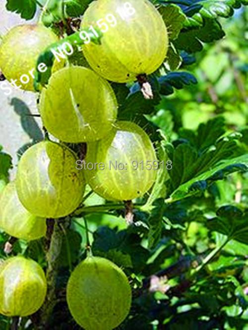 Fruit seeds 10pcs Ceylon Gooseberry seeds RARE showy KIDS DIY home gardening