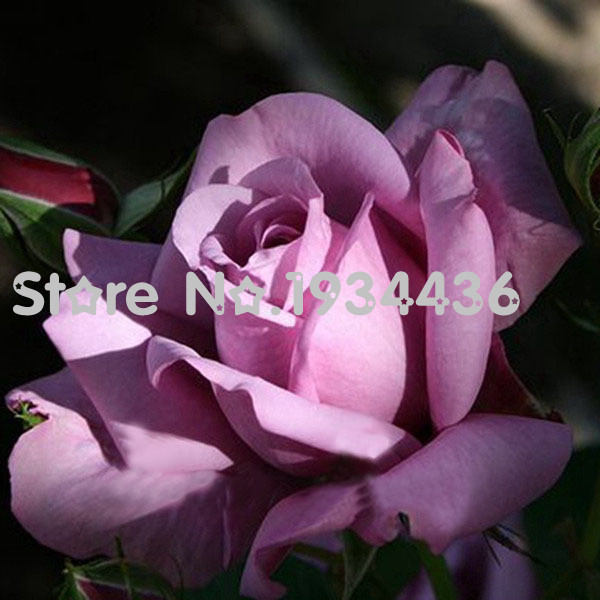 20+ Sterling Silver Rose Seeds Romantic Color Good Gift for DIY Home Garden's Lover Bush Bonsai Yard Flower Free Shipping(China (Mainland))
