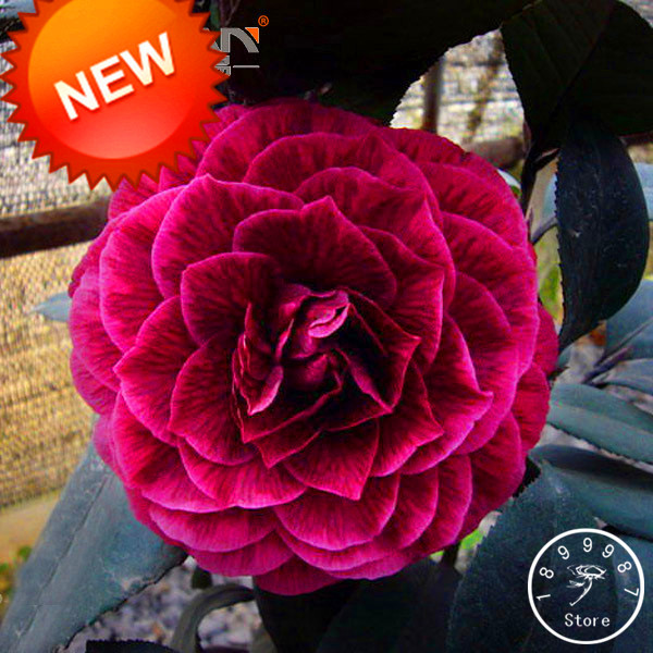 Best-Selling!100 Seed/Lot Black Rose Camellia Seeds Potted Plants Garden Flower Seeds Potted Ornamental Plants Common,#JH8HPA(China (Mainland))