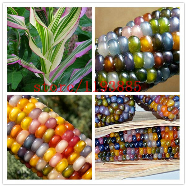 corn seeds Authentic Glass Gem Indian Corn Seeds! Heirloom, Rainbow, Non-GMO vegetable seeds for home garden planting(China (Mainland))