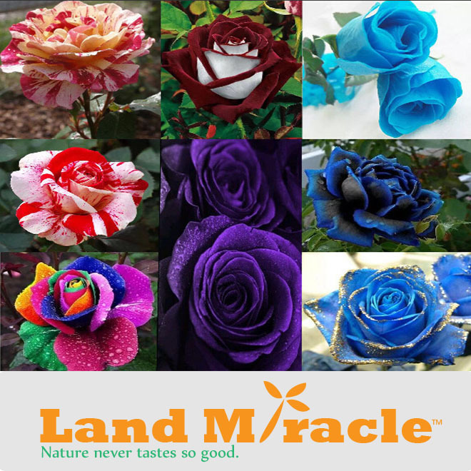 8 kinds of Mix Rose Seeds Pink Red Blue Crimson Purple Black-blue Rainbow Gold-Blue Rose Seeds Flower Seeds Land Miracle #M45(China (Mainland))