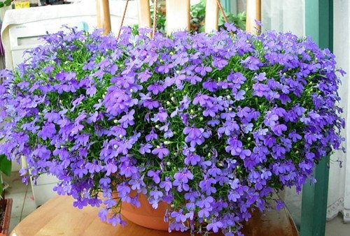 online nursery Beautiful Blue Lobelia Flower Seeds Hang down flowers balcony special view flower garden supplies organic cheap(China (Mainland))