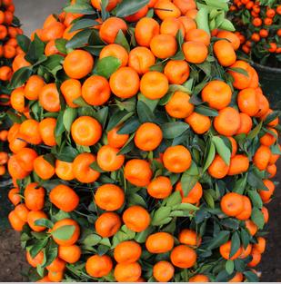 100 UNIDS Escalada Semillas de Naranja Mini Maceta Plantas, Semillas de Frutas Bonsai Escalada Orange Tree Climbing Semillas Plantas de China de Calidad Superior(China (Mainland))
