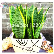 5Sansevieria seeds indoor plants Radiation Protection easy grow Foliage Plants Bonsai - Happy SEED store