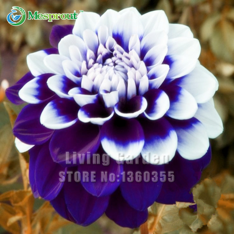 Hot Selling Dahlia Flower Seeds, Beautiful Flower and Easy to Grow, DIY Home Garden, Free Shipping 30 Seeds/pack(China (Mainland))