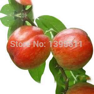 100 pcs Bonsai Apple Tree Seeds rare fruit bonsai tree America red delicious apple seeds garden