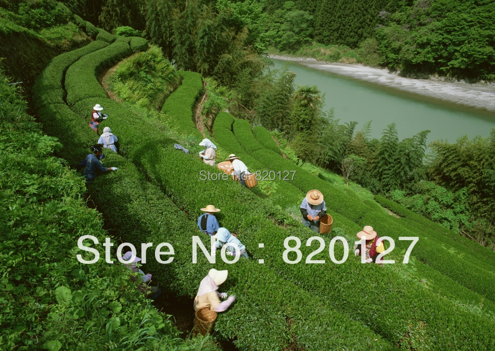 60pcs/lot Chinese Green Tea Tree CAMELLIA SINENSIS SEEDS GROW YOUR OWN TEA LEAVES,2014 new crop(China (Mainland))