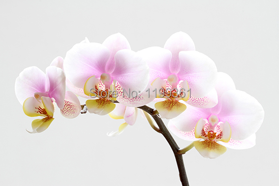 MY Printed Oil Painting Modern Wall Art Home Decoration Canvas Prints Picture No Frame White Canvas Pink Orchids F24(China (Mainland))