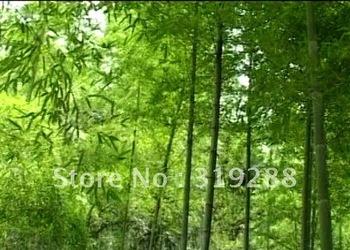 10pcs/bag mao bamboo tree Seeds DIY Home Garden