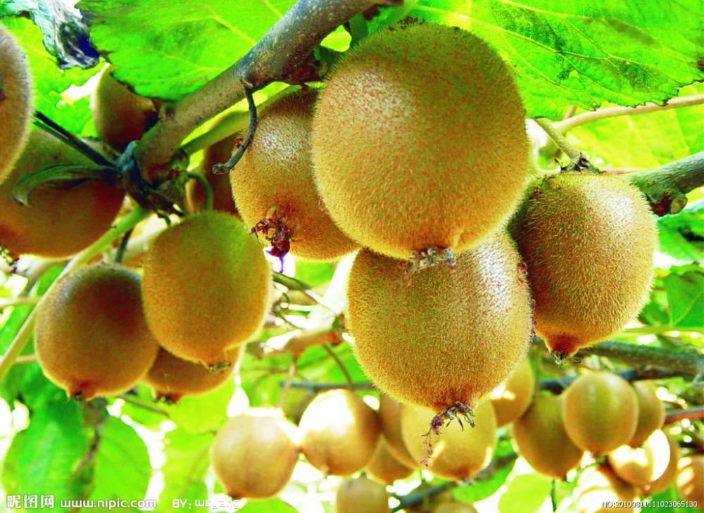 50 kiwi tree seedsbonsai fruit tree seeds for home garden