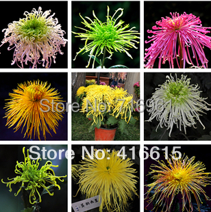 12 Different Chrysanthemum Seeds 480 Seeds (40 Seeds Each Color ) * Indoor Outdoor Available * Nice Flowers freeshipping(China (Mainland))