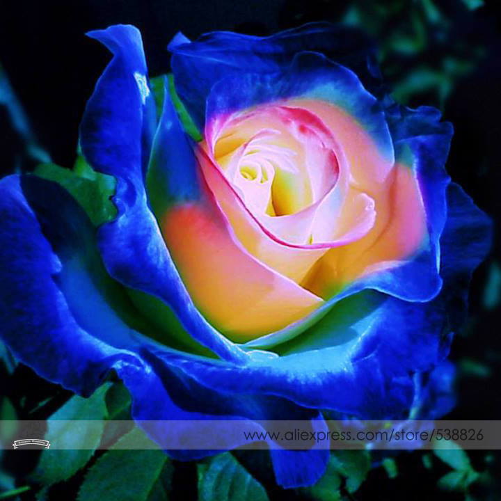 Rare blue pink yellow rose bush flower seeds professional - What are blue roses called ...