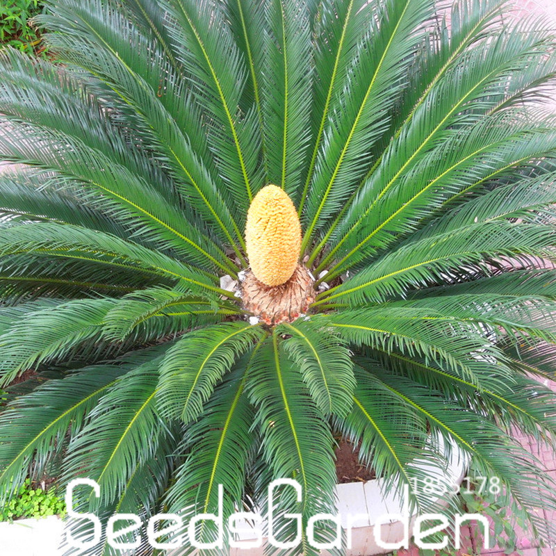 New Seeds 2016!Cycas Plant Seeds Potted Flower Seed for DIY Home Garden Household Items Only 10 PCS Cycas Seeds /bag,#2XCXUS