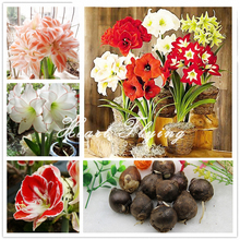 Buy 1 PCS Amaryllis bulbs True Hippeastrum bulbs flowers (Not seeds) Barbados Lily potted home garden Balcony plant Bulbous for $1.62 in AliExpress store