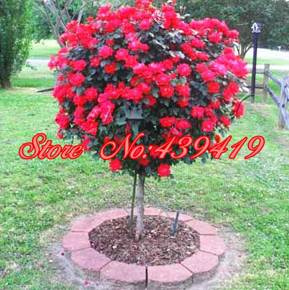 100 Red Rose Tree Seeds DIY Home Garden Potted Balcony Yard Flower
