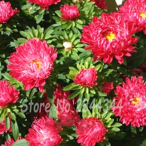 50 Red Chinese Aster Flower Seeds Add bright color to your garden(China (Mainland))