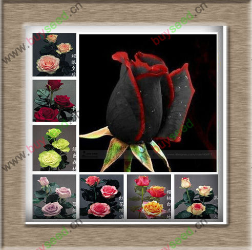 1 Professional Pack, approx 50 Seeds / Pack, Rare Amazingly Beautiful Black Rose Flower with Red Edge Seedling Seed(China (Mainland))