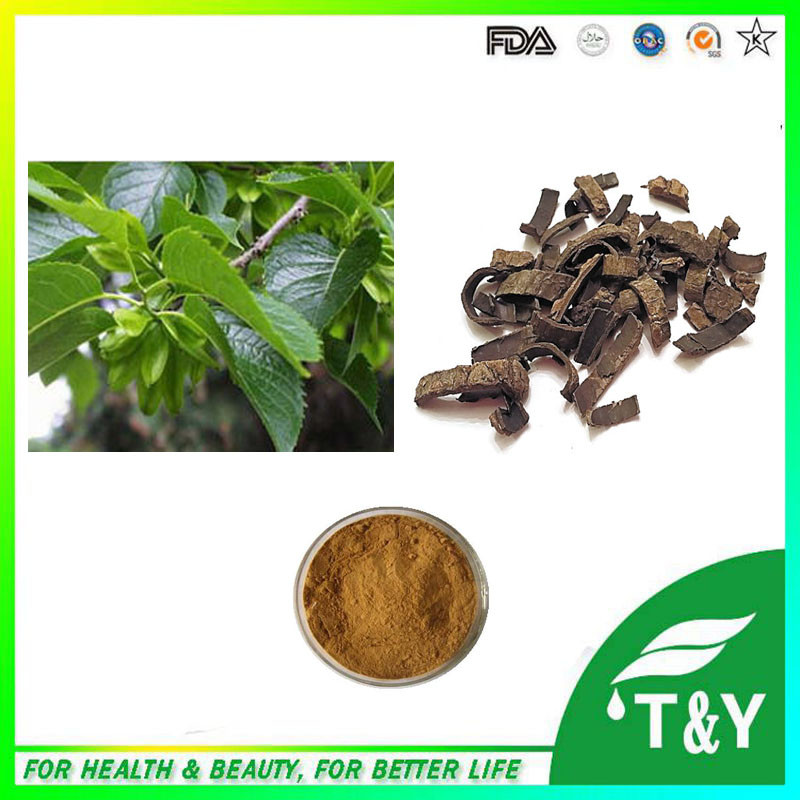 GMP Standard Manufacturer Supply Eucommia ulmoides bark extract 600g/lot