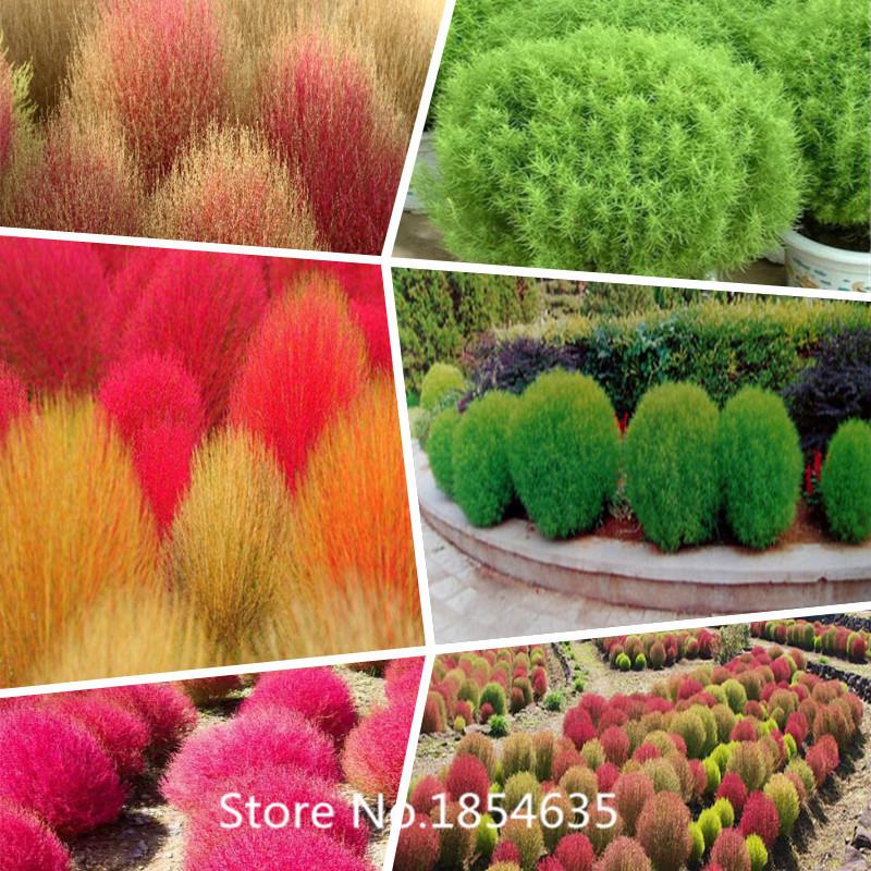 Garden Plant Top Fashion Promotion Summer Seeds Sementes Fd612 Rare Kochia Scoparia Grass Seeds Showy E~z Grow Rapid Exotic Har(China (Mainland))
