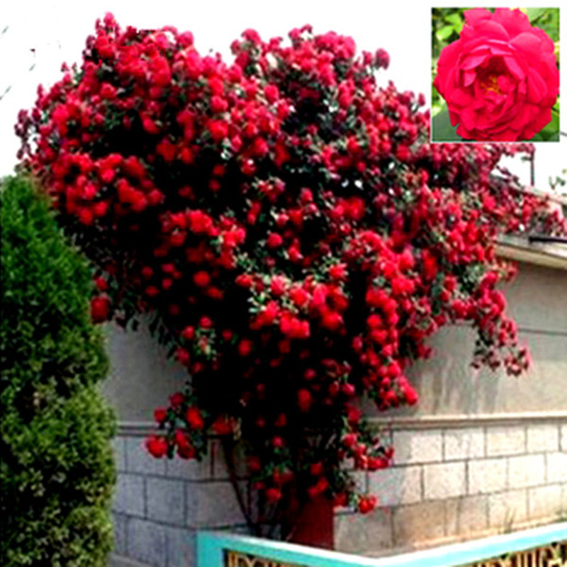mix climbing plant polyantha rose seeds diy home garden courtyard pot flower free shipping 100. Black Bedroom Furniture Sets. Home Design Ideas