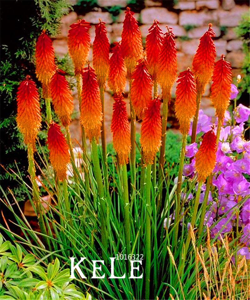Big Promotion!10 PCS/Lot Kniphofia Flower Seeds red hot pokers-plants So Pretty Long Blomming fiery-hued flowers light,#XBGR0(China (Mainland))