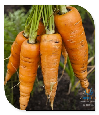 Heirloom Carrots Sweetest Roots for Juicing and Fresh Use Organically Grown Rare Seeds - 50 seeds(China (Mainland))