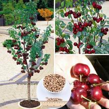 20 Pcs / Pack Sweet Sylvia Upright Cherry (prunus Avium) Self-fertile Dwarf Tree Seeds(China (Mainland))