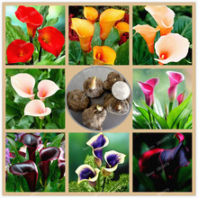 Buy 4 bulbs/Lot Calla Lily bulbs,Zantedeschia flower bulbs,spring winter seasons,beautiful ballet dance, indoor potted plant for $2.04 in AliExpress store